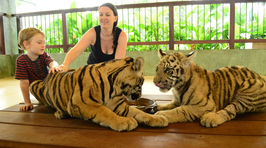 Image result for tiger kingdom+ safari phuket