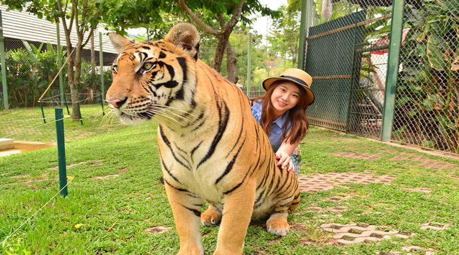 Private Sightseeing with Tiger Kingdom